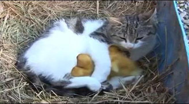 Tình mẫu tử giữa mèo và vịt